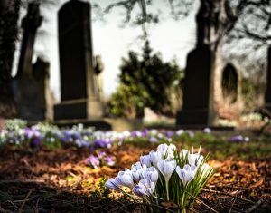 crocuses in bloom at a cemetary